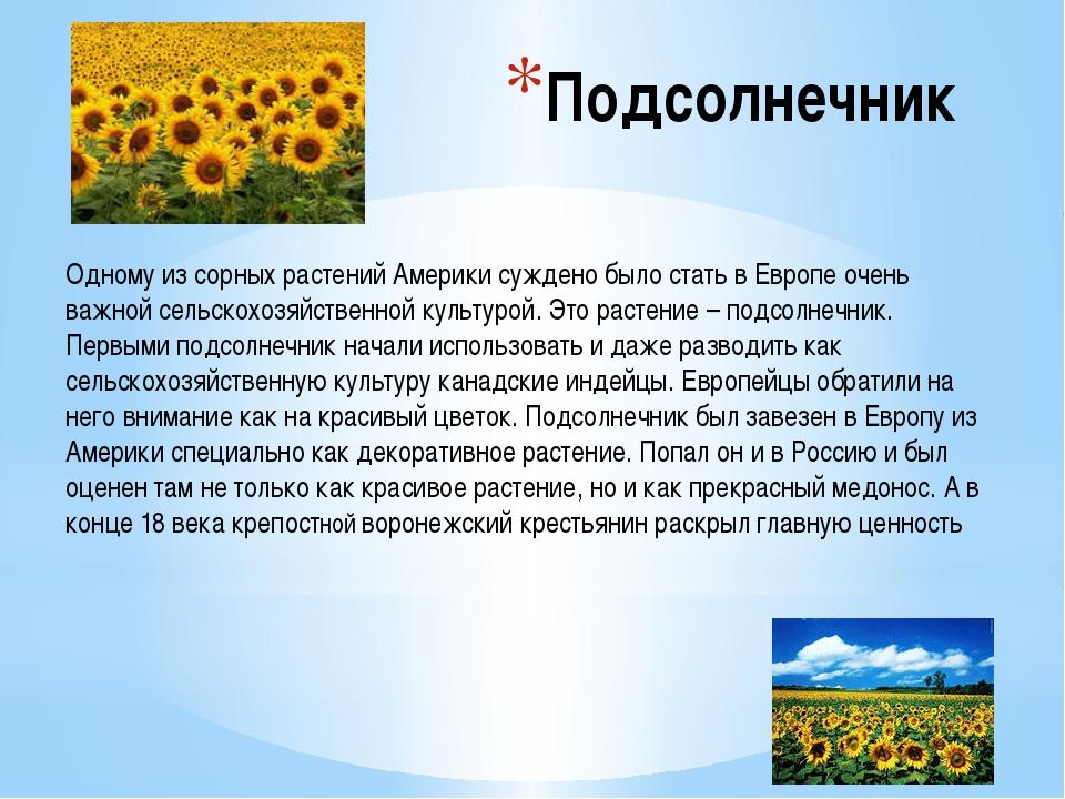 Подсолнечник Одному из сорных растений Америки суждено было стать в Европе оч...