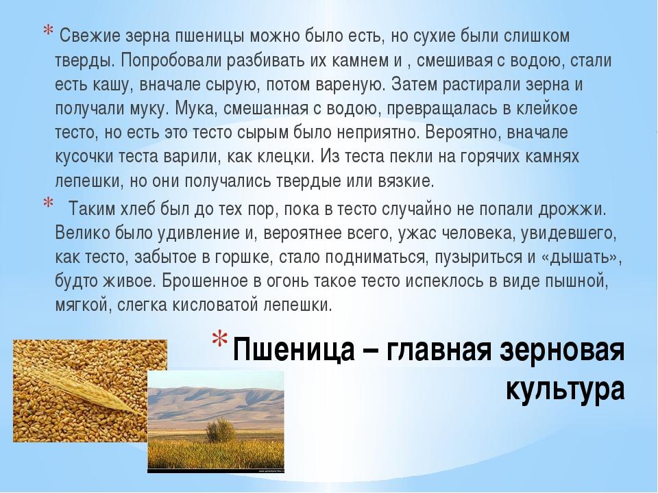 Пшеница – главная зерновая культура Свежие зерна пшеницы можно было есть, но...
