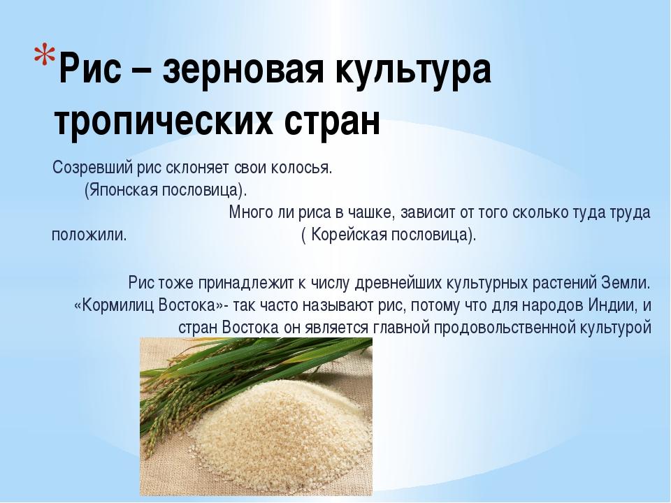 Рис – зерновая культура тропических стран Созревший рис склоняет свои колосья...