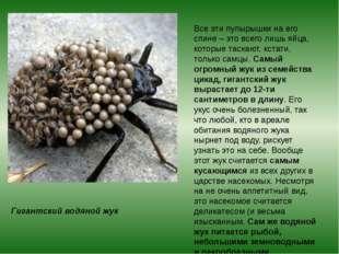 Гигантский водяной жук Все эти пупырышки на его спине – это всего лишь яйца,