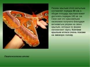 Павлиноглазка атлас Размах крыльев этого мотылька составляет порядка60 см, а