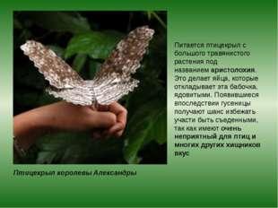 Птицекрыл королевы Александры Питается птицекрыл с большого травянистого раст