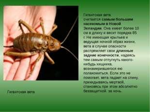 Гигантская вета Гигантская вета считаетсясамым большим насекомым в Новой Зел