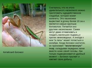 Считалось, что из этого удивительного насекомого можно приготовить чудодейств
