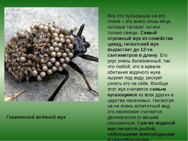 Гигантский водяной жук Все эти пупырышки на его спине – это всего лишь яйца,...