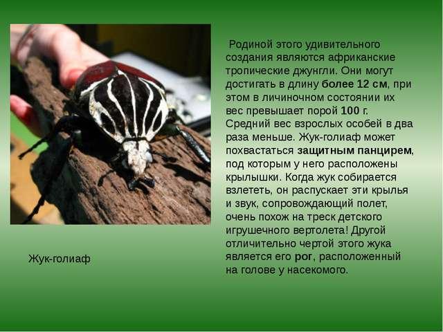 Жук-голиаф Родиной этого удивительного создания являются африканские тропиче...