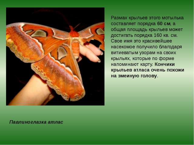 Павлиноглазка атлас Размах крыльев этого мотылька составляет порядка60 см, а...
