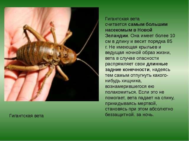Гигантская вета Гигантская вета считаетсясамым большим насекомым в Новой Зел...
