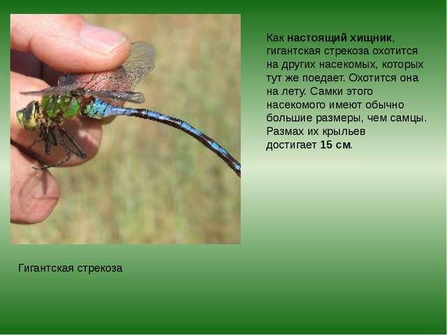 Какнастоящий хищник, гигантская стрекоза охотится на других насекомых, котор...