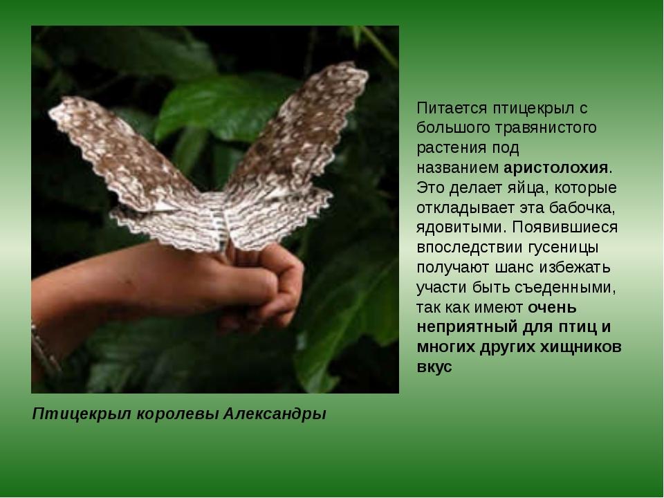 Птицекрыл королевы Александры Питается птицекрыл с большого травянистого раст...