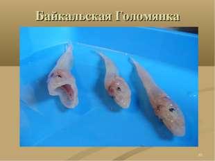 Байкальская Голомянка *