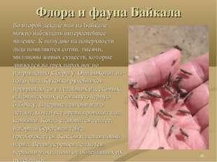 Флора и фауна Байкала Во второй декаде мая на Байкале можно наблюдать интерес