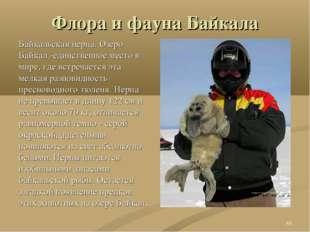 Флора и фауна Байкала Байкальская нерпа. Озеро Байкал -единственное место в м