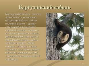 Баргузинский соболь Баргузинский соболь - главная драгоценность заповедника,