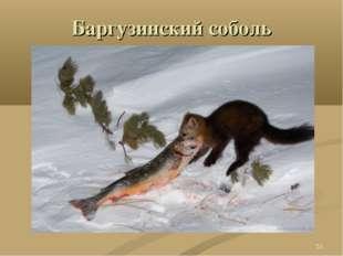 Баргузинский соболь *