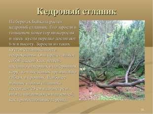 Кедровый стланик На берегах Байкала растет кедровый стланник. Его заросли в г
