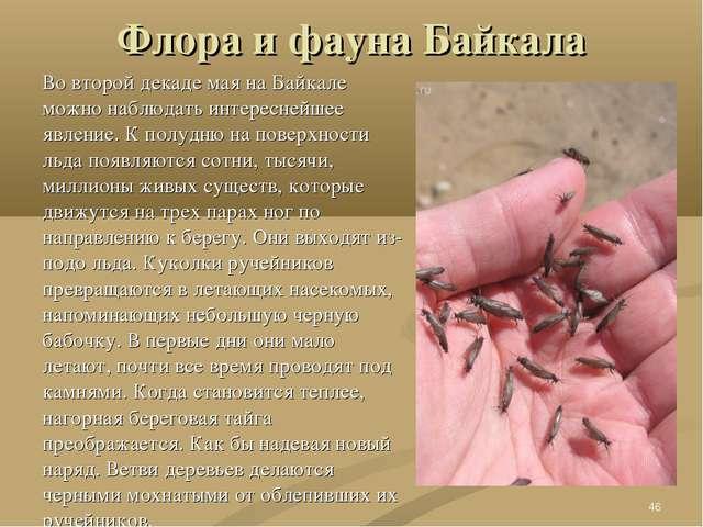 Флора и фауна Байкала Во второй декаде мая на Байкале можно наблюдать интерес...