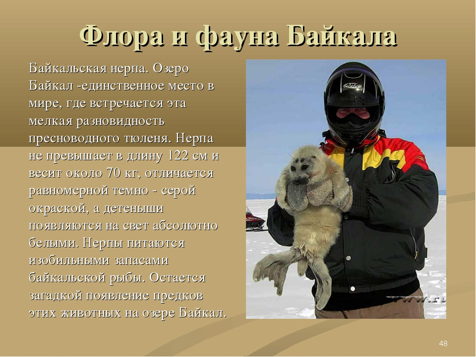 Флора и фауна Байкала Байкальская нерпа. Озеро Байкал -единственное место в м...