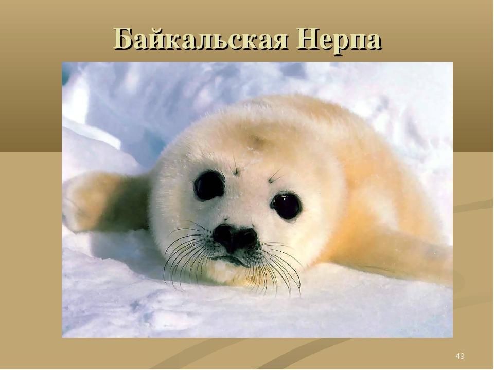 Байкальская Нерпа *