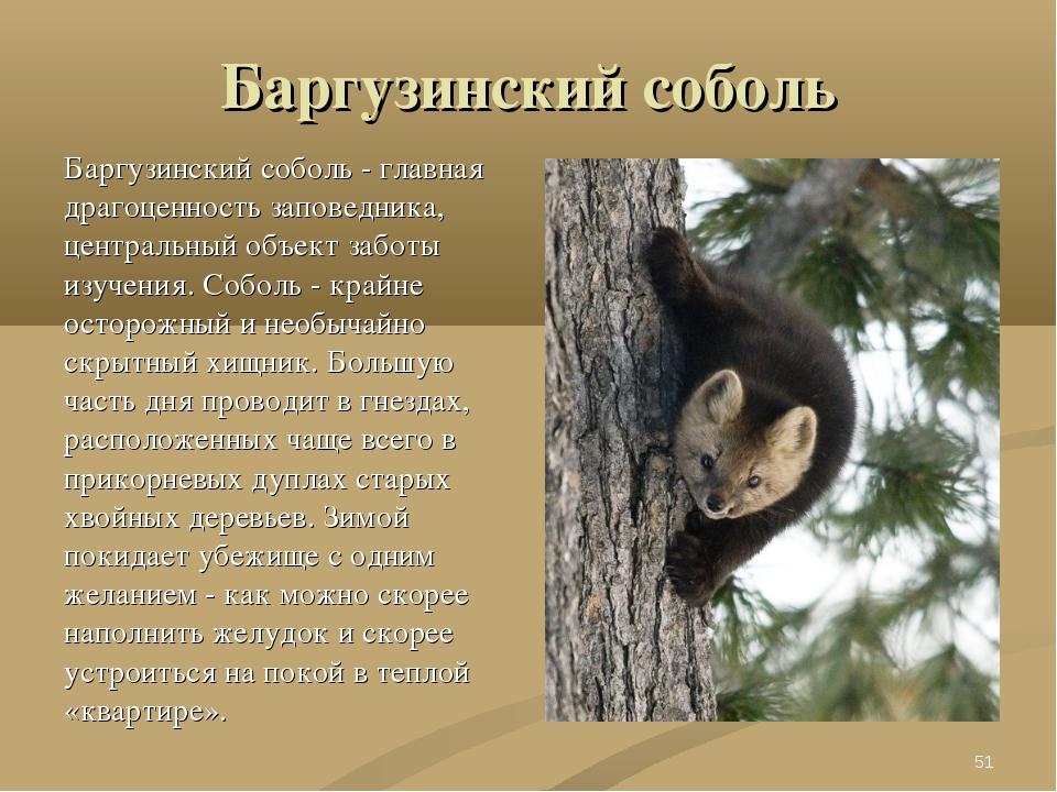 Баргузинский соболь Баргузинский соболь - главная драгоценность заповедника,...