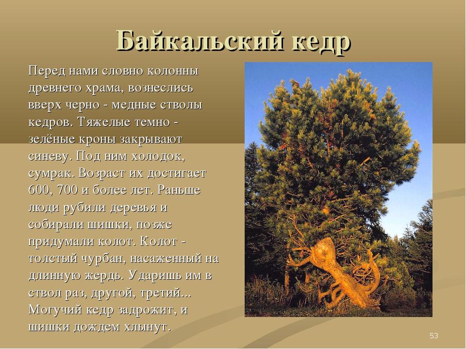 Байкальский кедр Перед нами словно колонны древнего храма, вознеслись вверх ч...