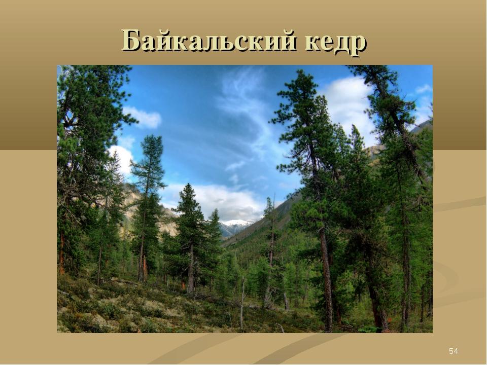 Байкальский кедр *