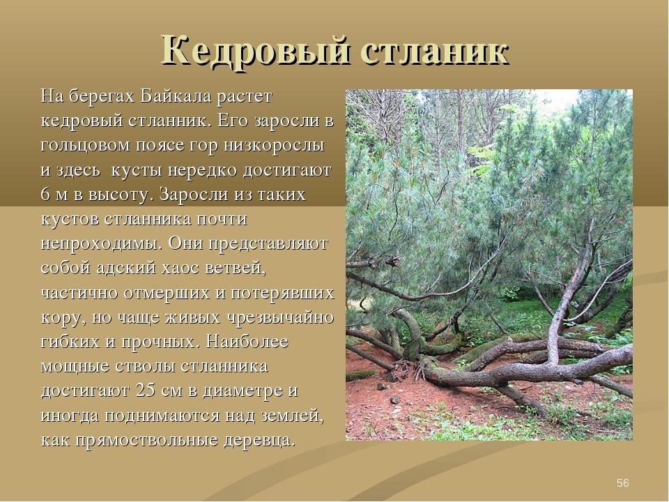 Кедровый стланик На берегах Байкала растет кедровый стланник. Его заросли в г...