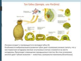 2.Половое размножение. Среди губок есть как раздельнополые, так и гермафродит