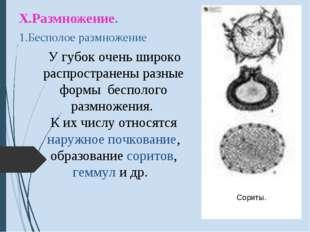 Х.Размножение. 1.Бесполое размножение У губок очень широко распространены раз