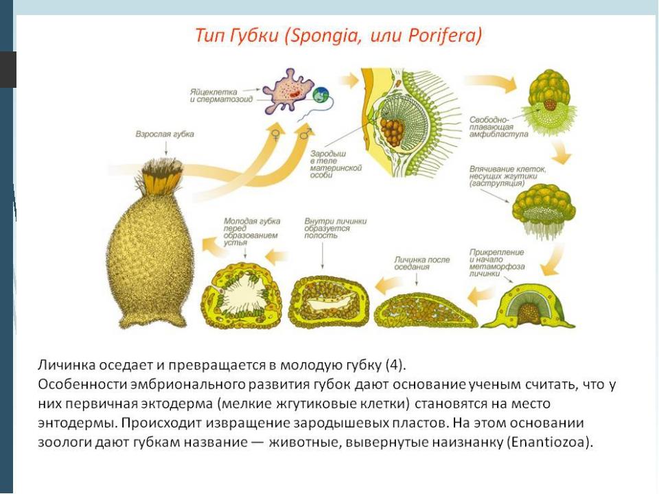 2.Половое размножение. Среди губок есть как раздельнополые, так и гермафродит...