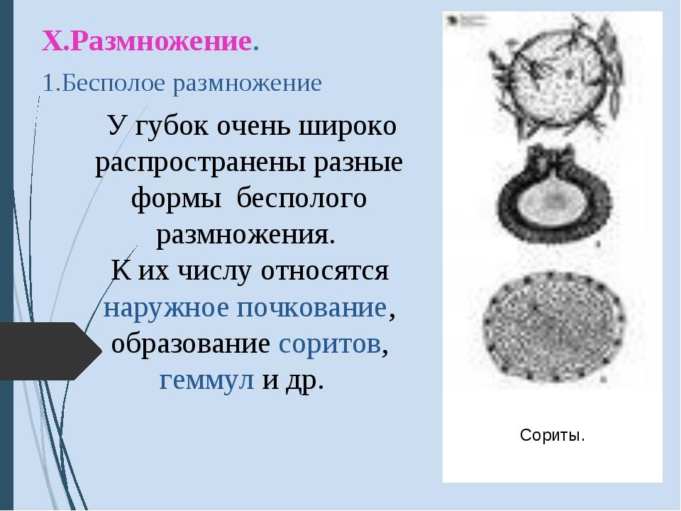 Х.Размножение. 1.Бесполое размножение У губок очень широко распространены раз...