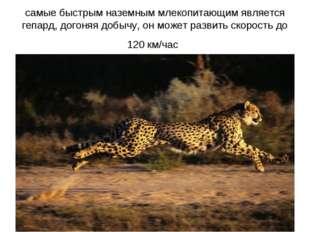 самые быстрым наземным млекопитающим является гепард, догоняя добычу, он може