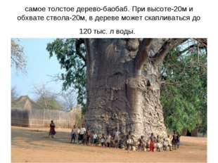 самое толстое дерево-баобаб. При высоте-20м и обхвате ствола-20м, в дереве мо