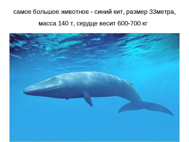 самое большое животное - синий кит, размер 33метра, масса 140 т, сердце весит...