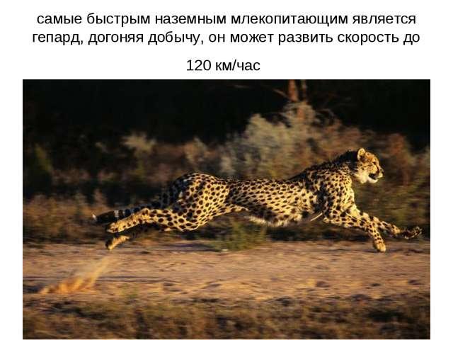 самые быстрым наземным млекопитающим является гепард, догоняя добычу, он може...