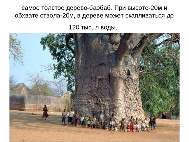 самое толстое дерево-баобаб. При высоте-20м и обхвате ствола-20м, в дереве мо...