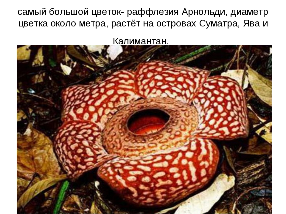 самый большой цветок- раффлезия Арнольди, диаметр цветка около метра, растёт...