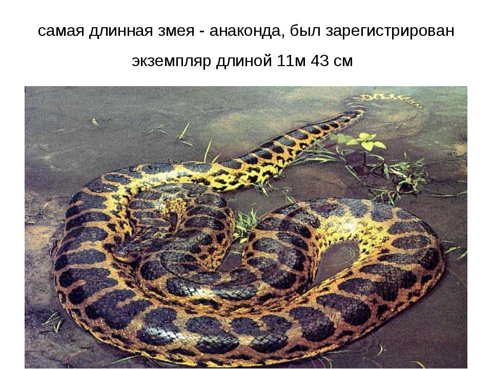 самая длинная змея - анаконда, был зарегистрирован экземпляр длиной 11м 43 см