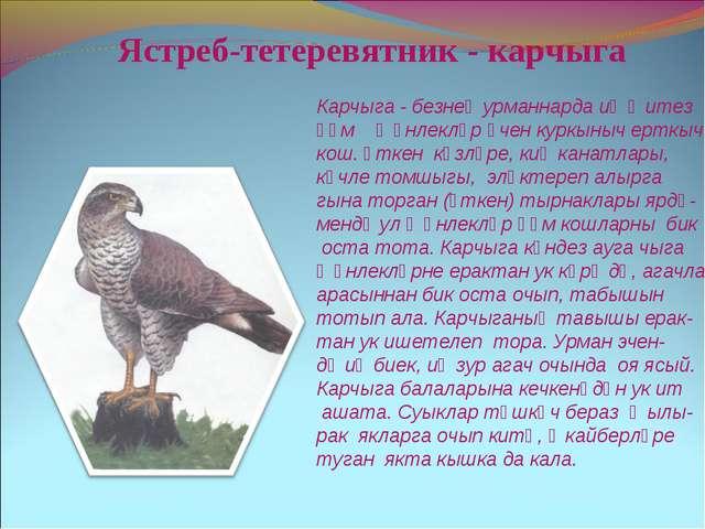 Ястреб-тетеревятник - карчыга Карчыга - безнең урманнарда иң җитез һәм җәнл...