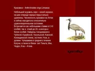 красавка Красавка – Anthrohoides virgo Linnaeus Небольшой журавль серо – си