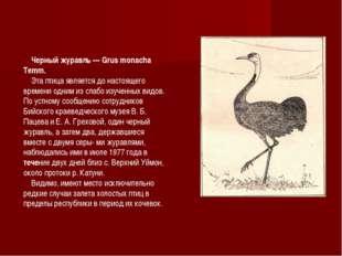 Черный журавль — Grus monacha Temm. Эта птица является до настоящего времени