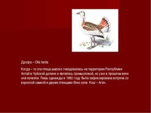 Дрофа – Otis tarda Когда – то эта птица широко гнездовалась на территории Рес