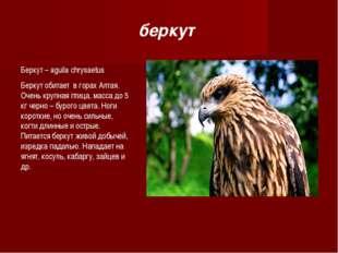 Беркут – aguila chrysaetus Беркут обитает в горах Алтая. Очень крупная птица,