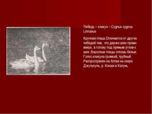 Лебедь – кликун – Cygnus cygnus Linnaeus Крупная птица.Отличается от других л