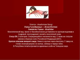 Клоктун - Anasformosa Georgi Отряд Гусеобразные — Anseriformes Семейство Ути