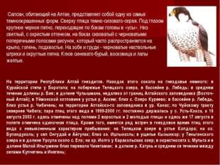 Сапсан, обитающий на Алтае, представляет собой одну из самых темноокрашенных