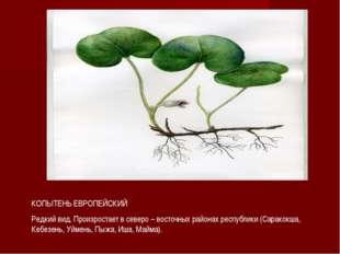 КОПЫТЕНЬ ЕВРОПЕЙСКИЙ Редкий вид. Произростает в северо – восточных районах ре