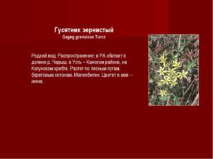 Гусятник зернистый Gageg granulosa Turcz Редкий вид. Распространение: в РА об