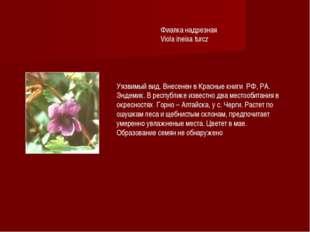 Фиалка надрезная Viola ineisa turcz Уязвимый вид. Внесенен в Красные книги РФ