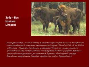 Очень крупный зверь, массой до 1000 кг. В настоящее время зубр в вольном и в